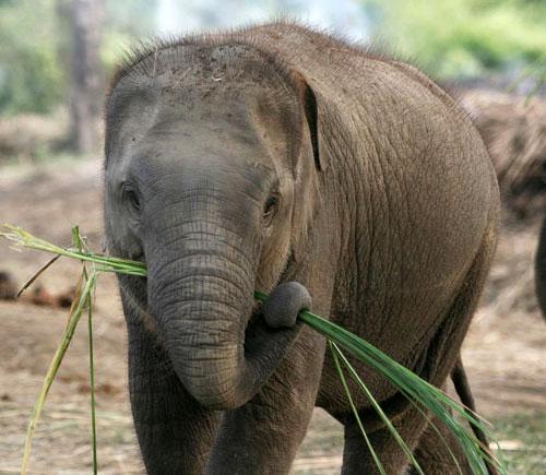 eat What asian elephants